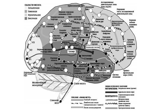 Мозг. Краткое руководство