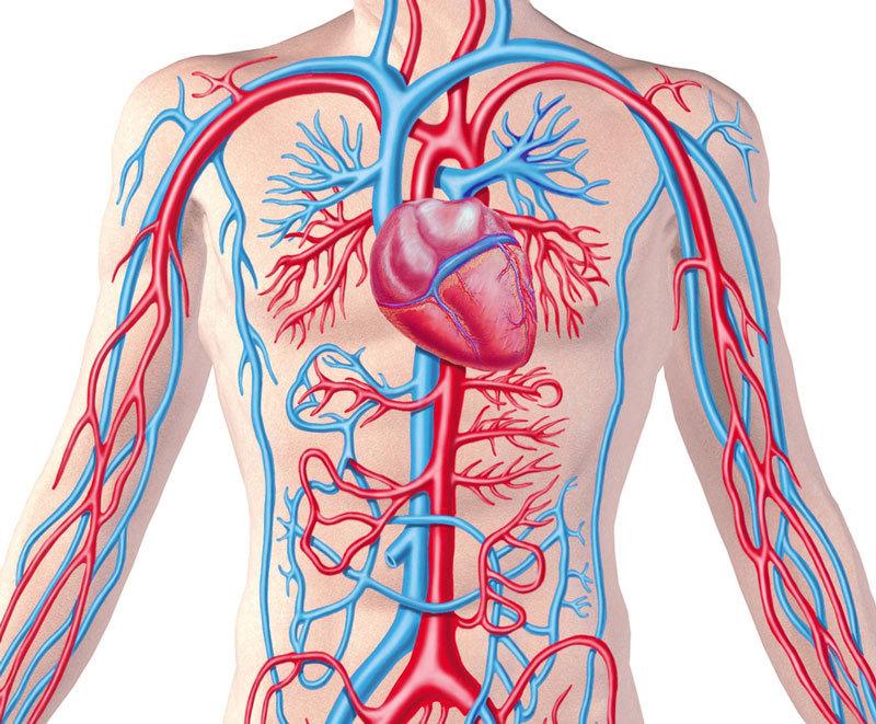 Сосуды тела в картинках