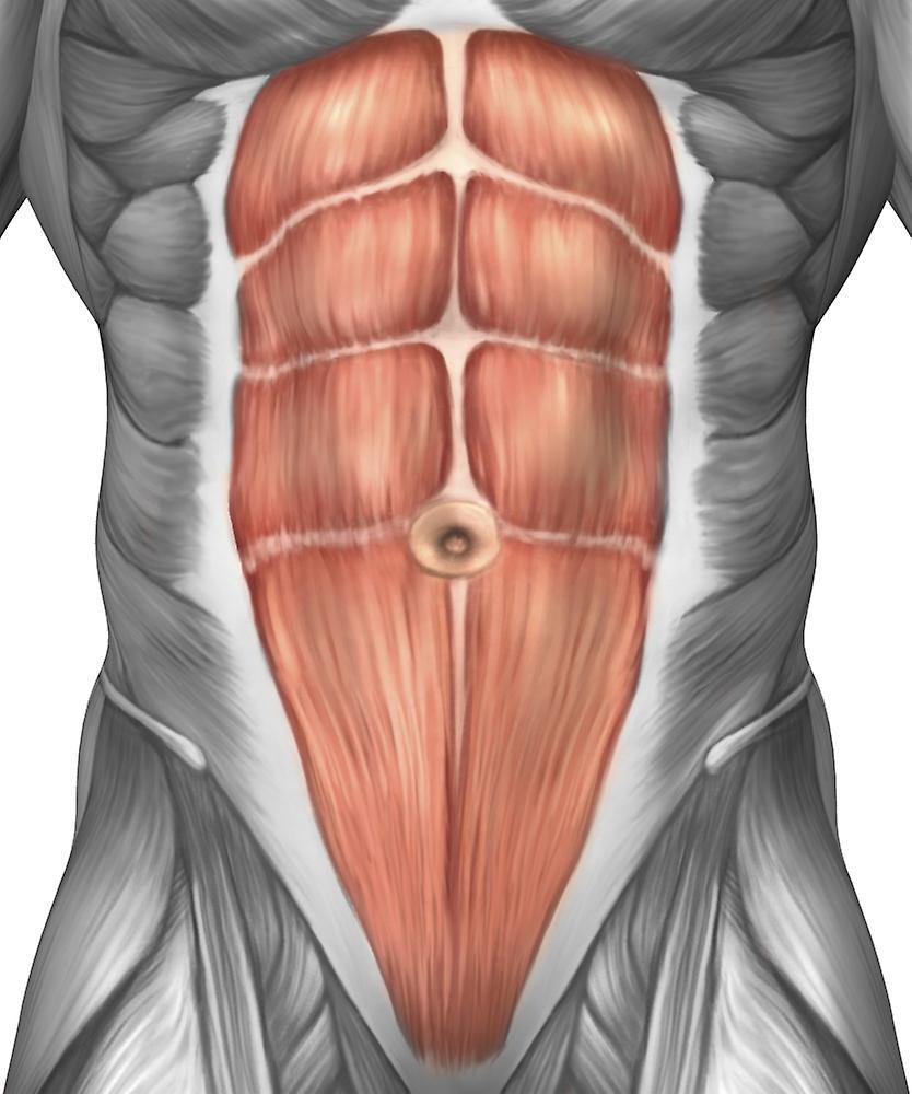 Мышцы брюшного пресса картинка