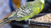 Особенности выбора кормов для попугаев